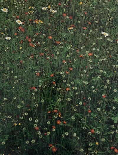Eliot Porter, 'Hawkweed in meadow, Great Spruce Head Island, Maine', 1968