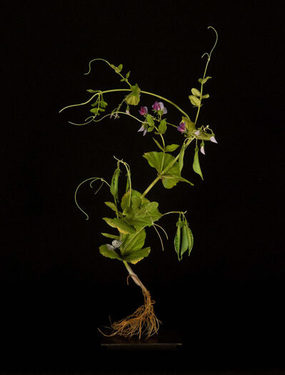 Carmen Almon, 'Sweet Pea Plant with Geometridae', 2016