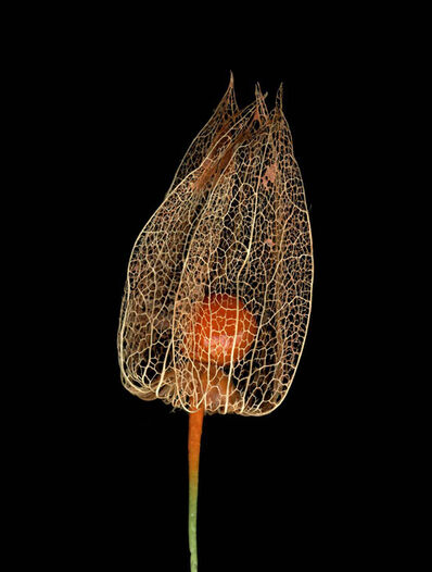 Jitka Hanzlová, 'Untitled (Lampi - Physalis alkekengi) from FLOWERS', 2009