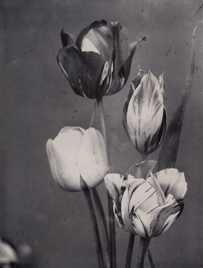Charles Jones, 'May Flowering Tulips Mixed c.1900', c.1900