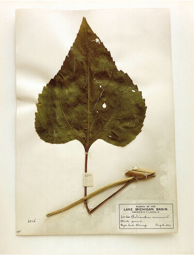 Terry Evans, 'Field Museum, Helianthus, Chicago, 1899 (leaf)', 2000