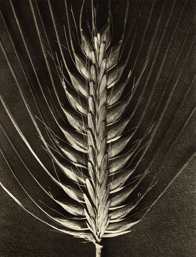 Karl Blossfeldt, 'Hordeum distichum', 1932