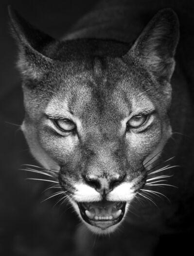 Araquém Alcântara, 'Suçuarana Cougar | Wildlife | Brazil', 2017