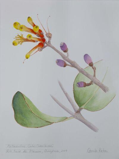 Camila Rocha, 'Psittacanthus Cinctus (Loranthaceae)', 2019