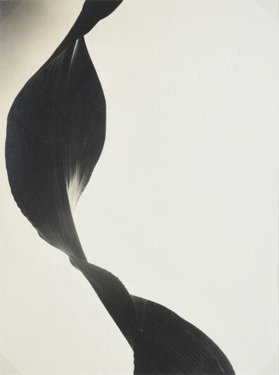 Barbara Morgan, 'Cornleaf', 1947