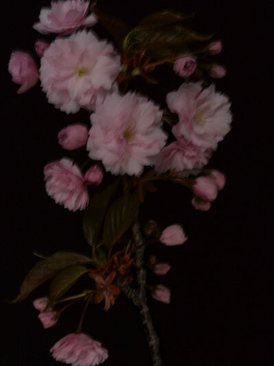 Patrizio di Renzo, 'Prunus Serrulata', 2009