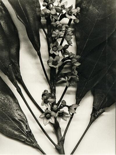Christopher Williams, 'Togo (Blauschka Model 439, 1894. Genus no. 5081. Family, Sterculiaceae. Colla acuminata [Beauv.] Schott and Endl. Cola Nut, Goora Nut', 1989