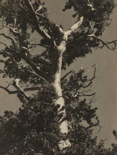 Ansel Adams, 'Sierra Tree'