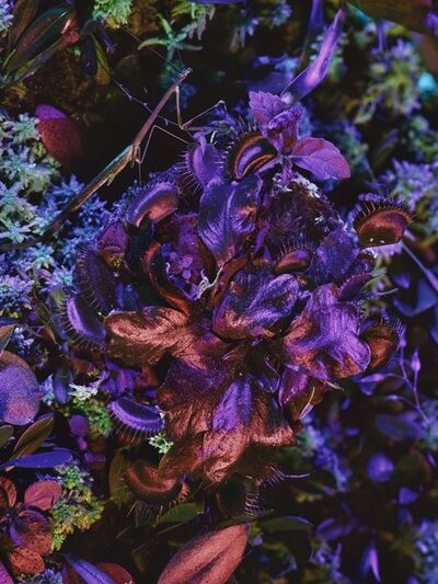 Richard Mosse, 'Dionaea muscipula with Mantodea', 2019