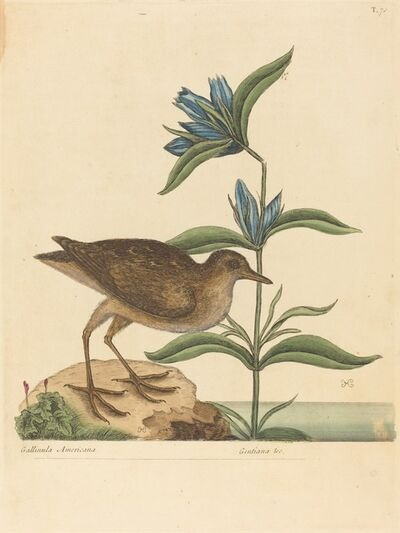 Mark Catesby, 'The Soree (Rallus Virginianus)', published 1731-1743