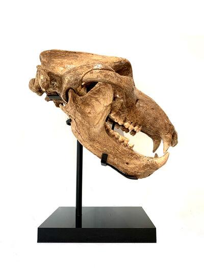 Natural History, 'Cave Bear Skull', Circa 100-000 Years Old