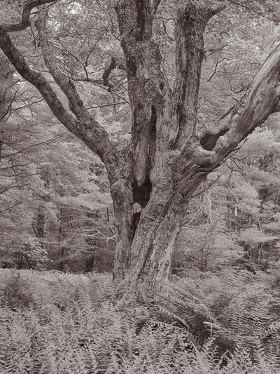 Lee Backer, 'Maple, Steepletop Reserve, New Marlborough, Massachusetts'