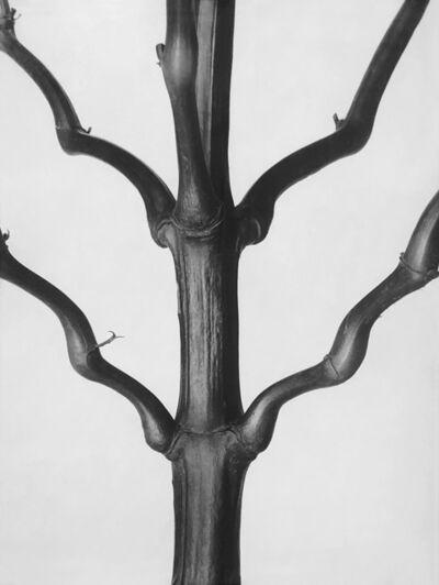 Karl Blossfeldt, 'Impatiens Glandulifera Balsamine', 1929/1990