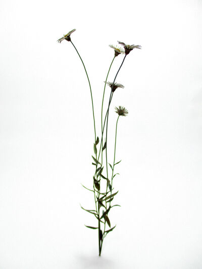 Shota Suzuki, 'Seaside daisy', 2017