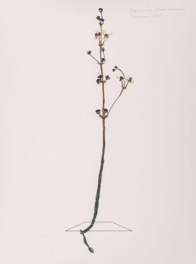 Ilya Dolgov, 'Sagittaria sagittifolia', 2016