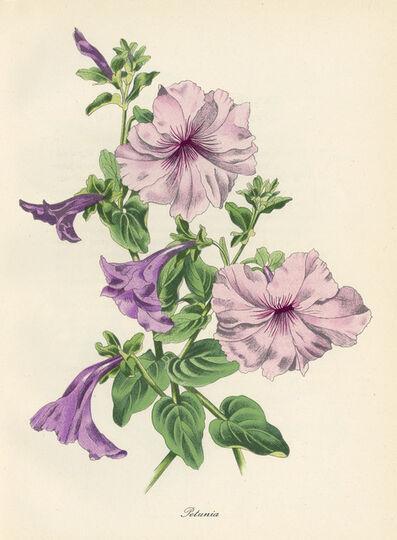 John Nash, R.A., 'Petunia', 1948