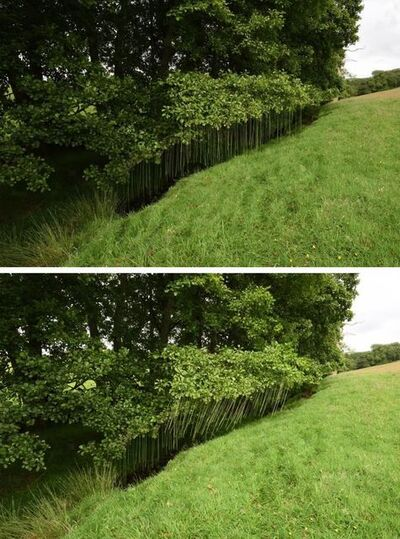 Andy Goldsworthy, 'Rush lines threaded through the leaves of an alder tree Dumfriesshire, Scotland 20 July 2017', 2017
