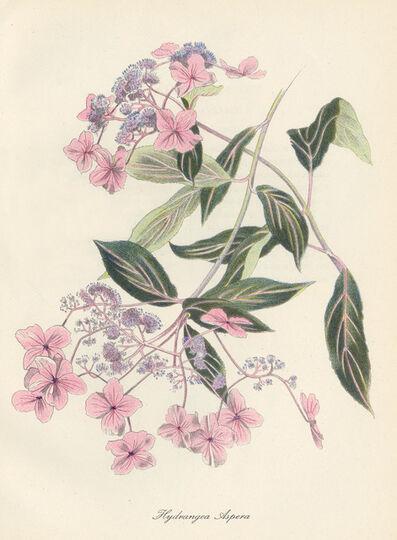 John Nash, R.A., 'Hydrangea Aspera', 1948