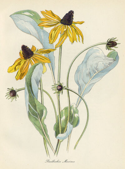 John Nash, R.A., 'Rudbeckia Maxima', 1948