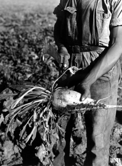 Arthur Rothstein, 'Sugar Beet before Topping, Adams County, Colo.', 1939