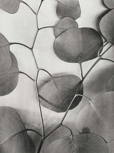 Alma Lavenson, 'Eucalyptus Leaves', 1933/printed later
