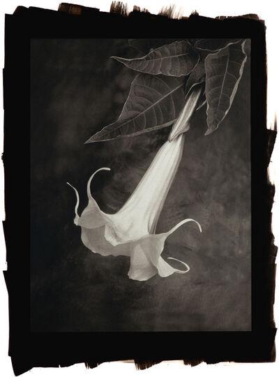 Cy DeCosse, 'Angel Trumpet (Brugmansia)'