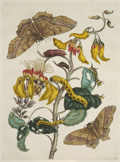 Maria Sibylla Merian, 'Plate 11 from Dissertation in Insect Generations and Metamorphosis in Surinam', 1719