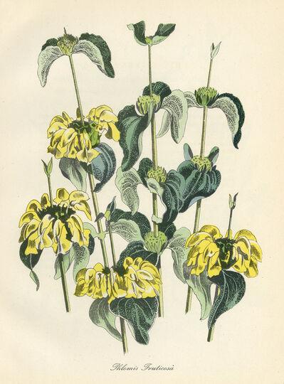 John Nash, R.A., 'Phlomis Fruticosa', 1948