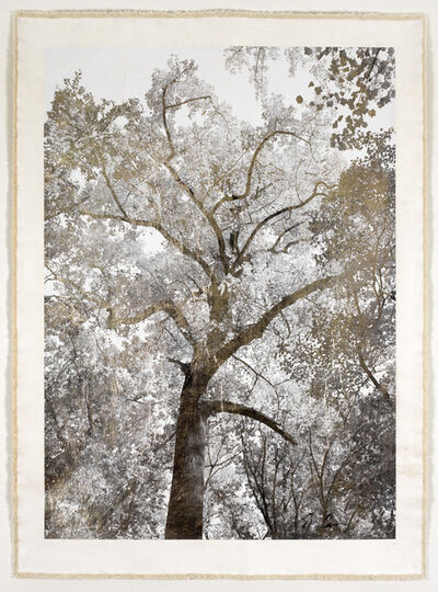 Bill Claps, 'Majestic Oak', 2015