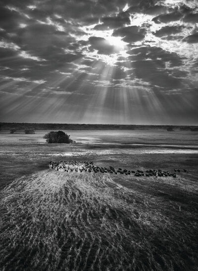 Sebastião Salgado, 'Herd of Buffalo, Kafue National Park, Zambia', 2010