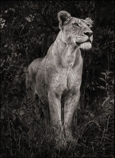 Nick Brandt, 'Lioness Against Dark Foliage, Serengeti, 2012', 2012