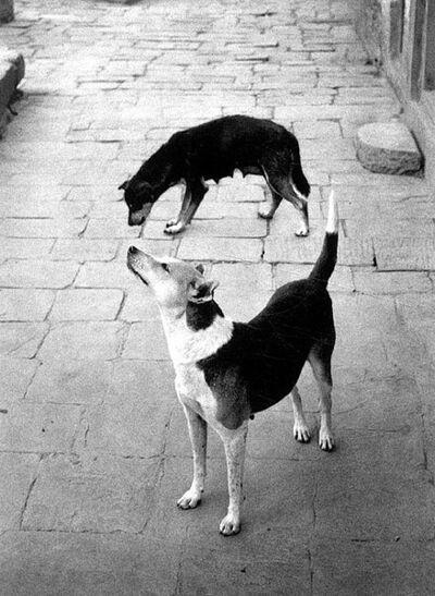 Pentti Sammallahti, 'Swayambhunath, Nepal (Two Dogs Forming a Circle)', 1994