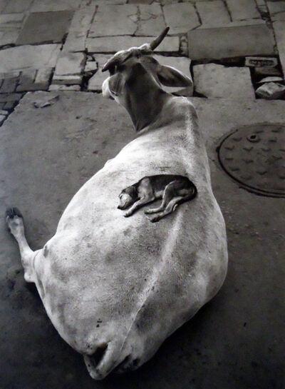 Pentti Sammallahti, 'Varanasi, India, (Puppy sleeping on cow)', 1999