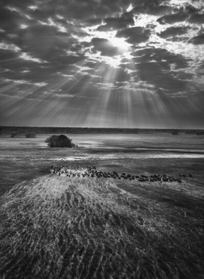 Sebastião Salgado, 'Herd of Buffalos,Kafue National Park, Zambia.', 2010