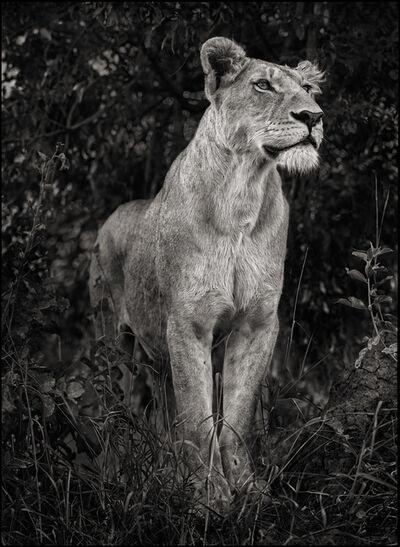 Nick Brandt, 'Lioness in Dark Foliage', 2012