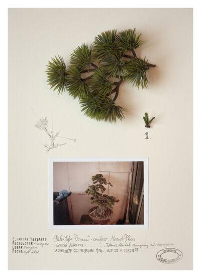 Alberto Baraya, 'Expedição Shanghai: Herbário de plantas artificiais, Pino Bonsai', 2012