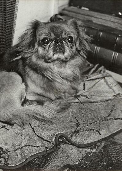 Brassaï, 'A Pekinese', 1930s/1930s