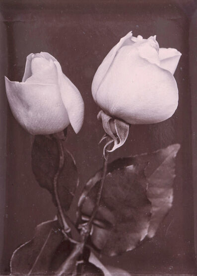 Charles Jones, 'White Roses', ca. 1900