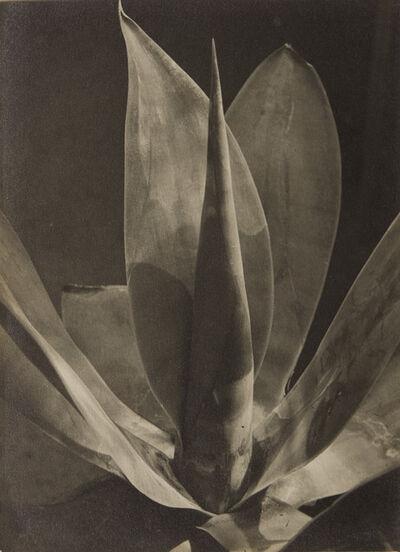 Albert Renger-Patzsch, 'Agave Ellemeetiana', 1925-1929