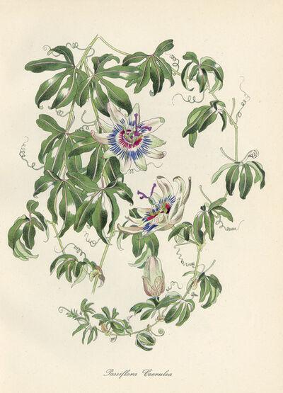 John Nash, R.A., 'Passiflora Coerulea', 1984