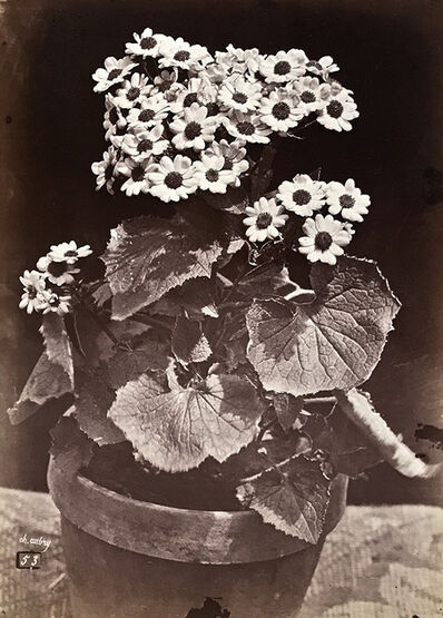 Charles Aubry, 'Study of a Flowering Potted Plant (Marguerite Daisy)', 1864c/1864c