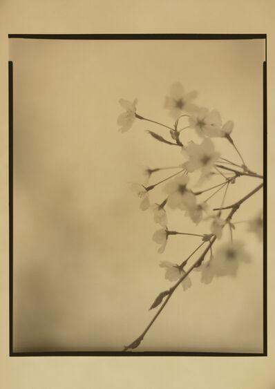 Muga Miyahara, 'Sakura No. 12', 2010