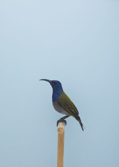 Luke Stephenson, 'Blue-headed Sunbird #1', ca. 2016