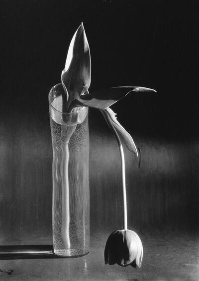 André Kertész, 'Melancholic Tulip.', 1980