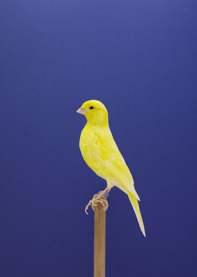 Luke Stephenson, 'Canary #9', 2014