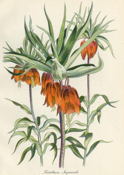 John Nash, R.A., 'Fritillaria Imperialis', 1948