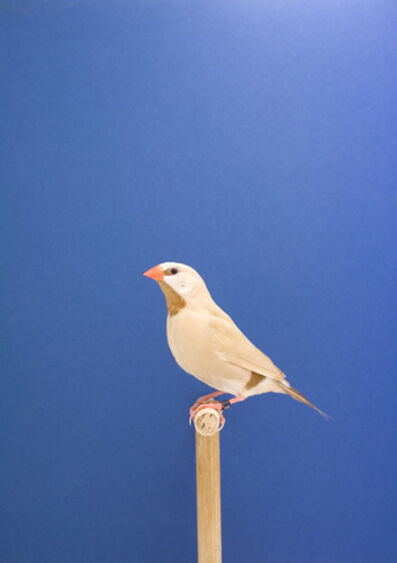 Luke Stephenson, 'Parson Finch #1, from The Incomplete Dictionary of Show Birds', 2009