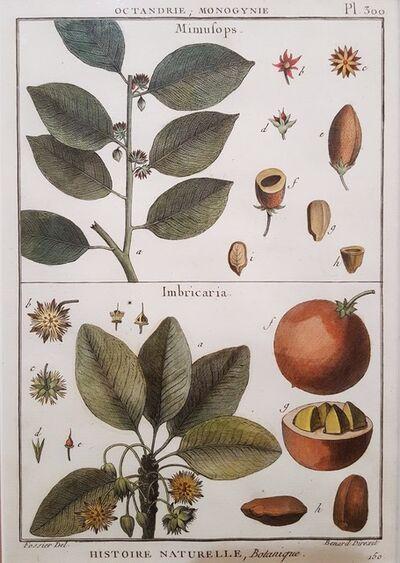 Georges-Louis Leclerc, Comte de Buffon, 'Mimufops (Mimusops); Ibricaria (Shingle Oak)', 1749-1789
