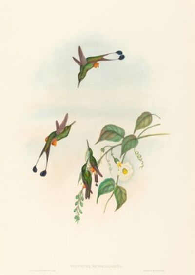 John Gould and H.C. Richter, 'Spathura rufocaligata (Red-booted Racket-Tail)'
