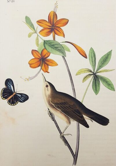John James Audubon, 'Swainson's Swamp Warbler (Orange Colored Azalea)', 1840-1844